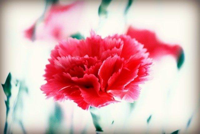 2015-05-04 Pink Carnation m