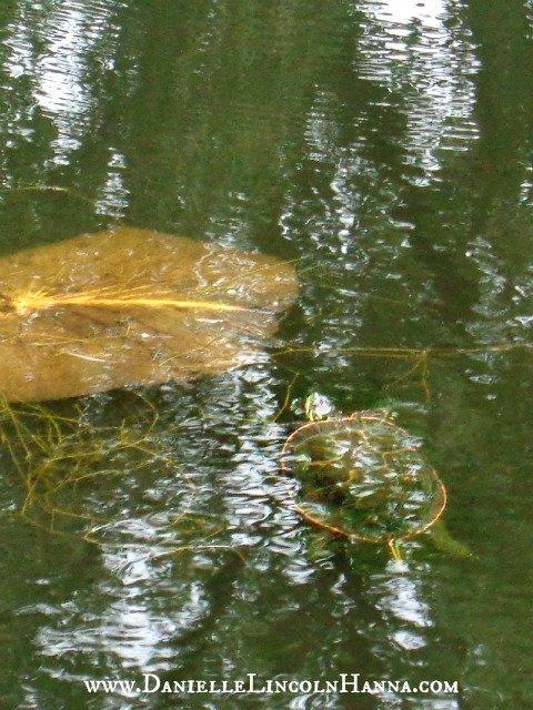 Turtle of Turtle Pond